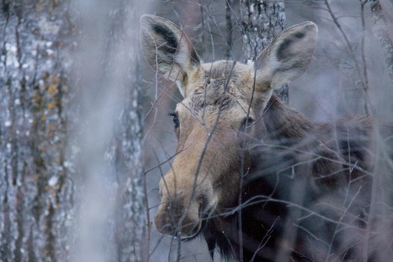 Очевидцы сообщают о лосе, гуляющем по Томску