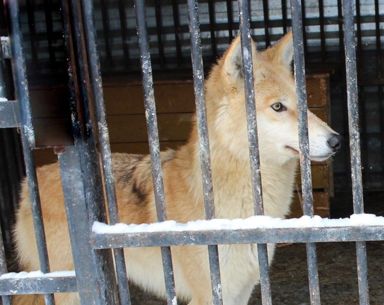 Волчица Тайна стала первой красавицей северского зоопарка