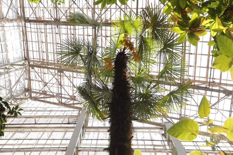 В ботсаду Томска зацвела одна из самых холодостойких пальм на планете