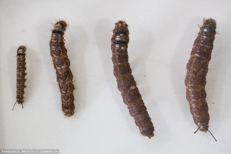 Обработка лесов от шелкопряда в томских лесах продолжится осенью