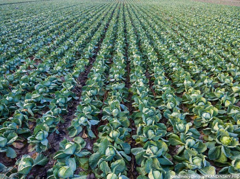 ВСамарской области подорожали капуста, картофель иморковь