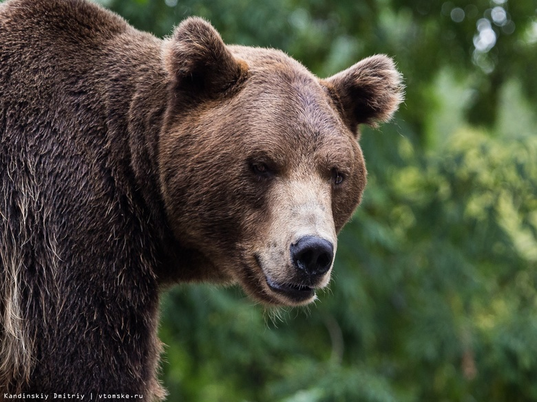 Охотники выслеживают медведя, замеченного в черте Томска