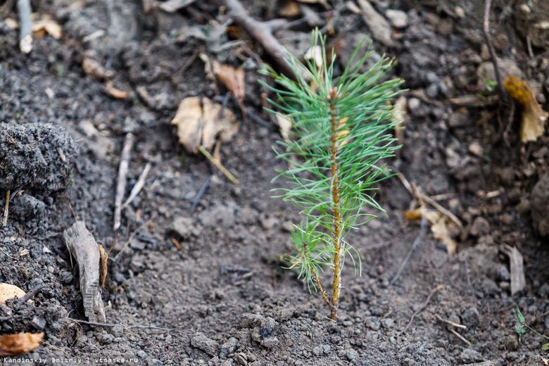 В 2018г в лесничествах Томской области посеяли около тонны семян хвойных